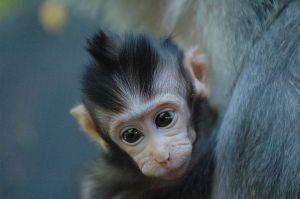 baby monkeycommon
