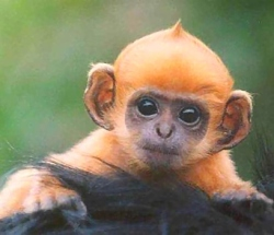 ginger monkey